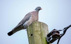 0720 - Wood Pigeon