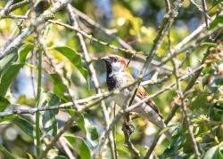0720 - House Sparrow