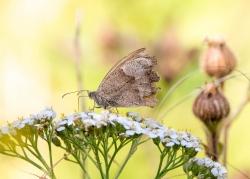 0720 - Meadow Brown