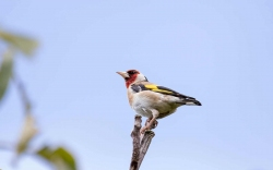 0820 - Goldfinch