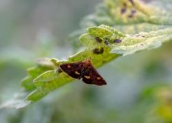 0820 - Mint Moth