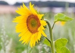 0820 - Sunflower