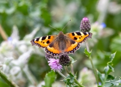 0820 - Painted Lady