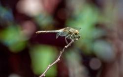 0920 - Common Darter